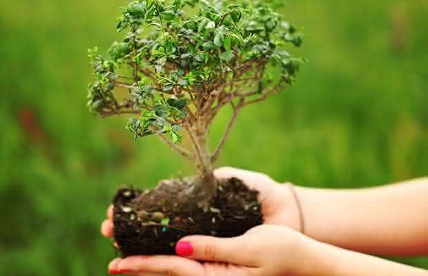 O transplante do Bonsai
