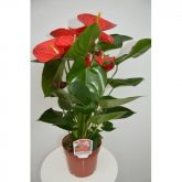 Anthurium Red Winner 17 cm