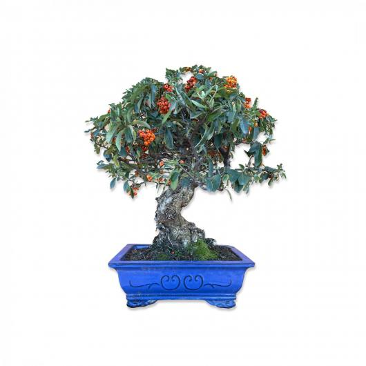 Pyracantha sp. (buisson ardent) 18 ans