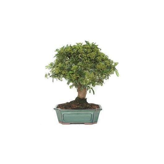 Pyracantha sp. (buisson ardent) 16 ans