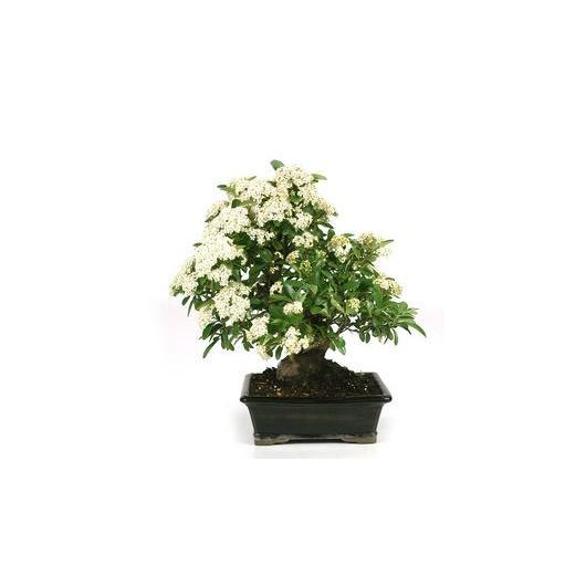 Pyracantha sp. (buisson ardent) 12 ans