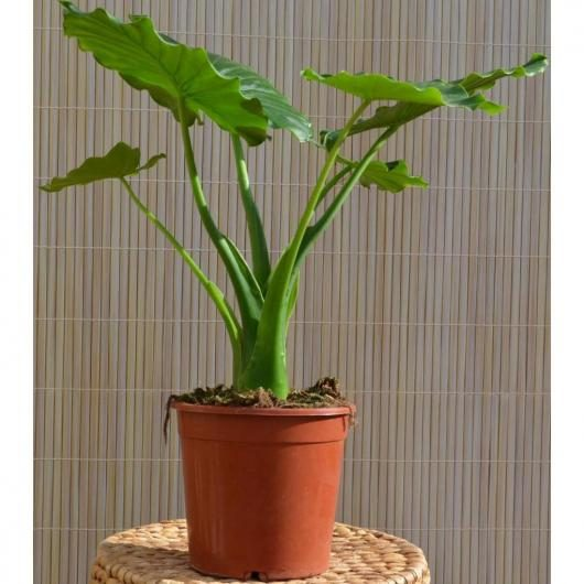 Alocasia Gageana 'California'