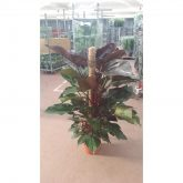 Filodendro Royal Queen (Philodendron Royal Queen)