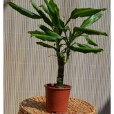 Dracena Golden Coast Stam