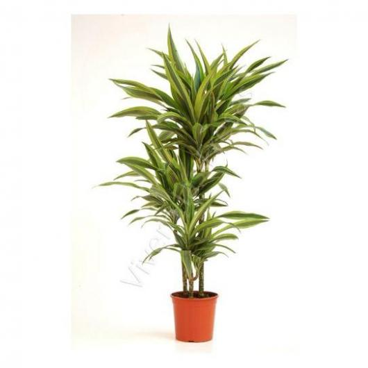 Dracena Lemon Lime 60-30-15 (ES)