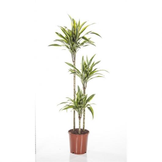 Dracena Lemon Lime 90-60-30