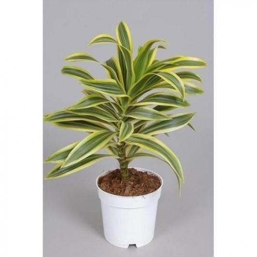 Dracena Reflexa Song of India