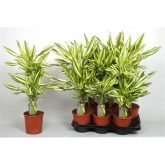 Dracena Yellow Coast