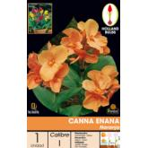 Bulbe canna nain orange, 1 pièce