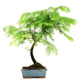 Metasequoia sp. 9 ans