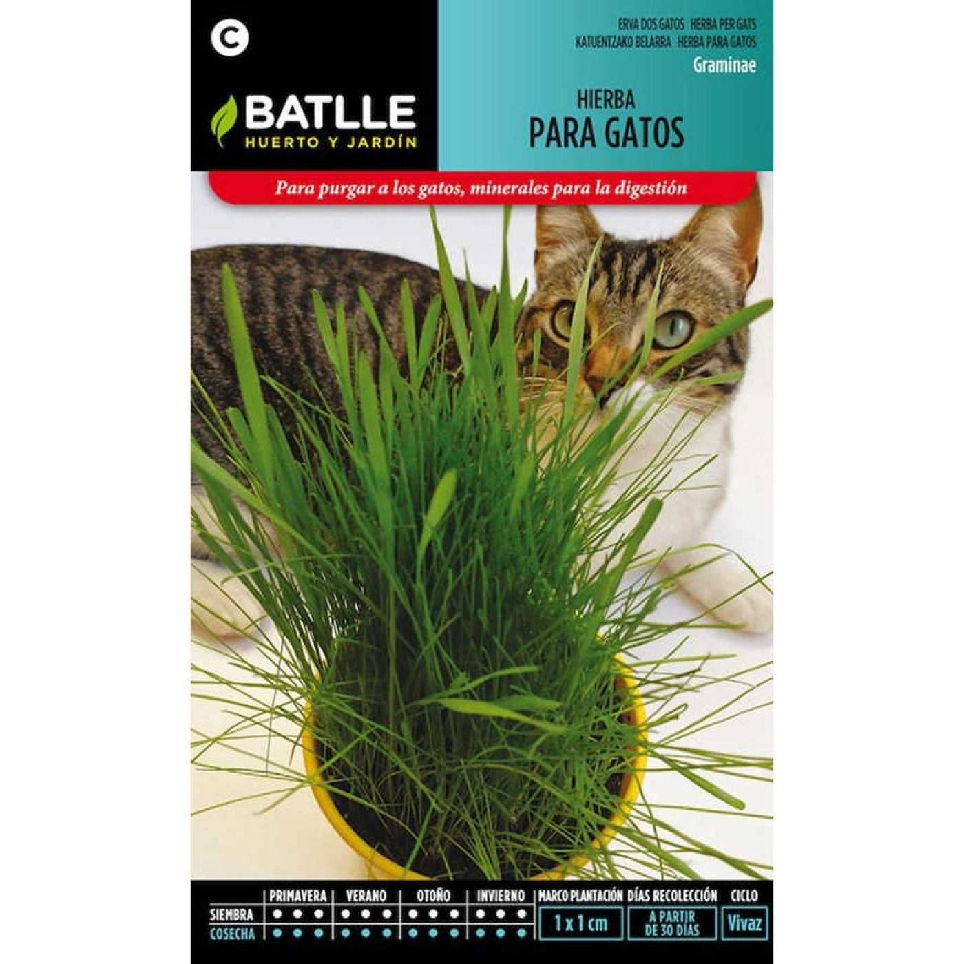Graines d 39 herbe chat sur planeta huerto - Herbe a chat graine ...