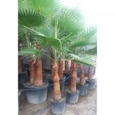 Washingtonia (Washingtonia robusta)