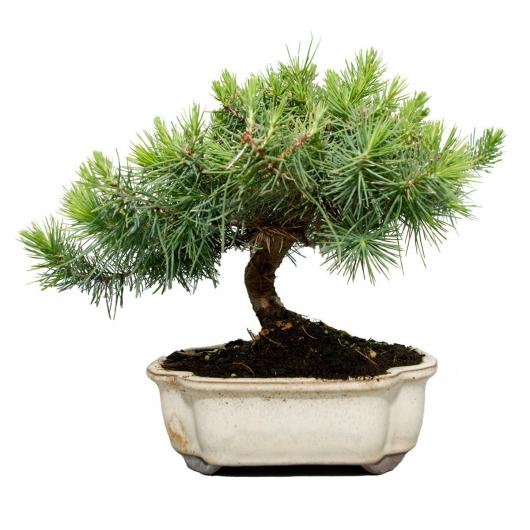 Pinus Halepensis (Pin d'Alep) 6 ans