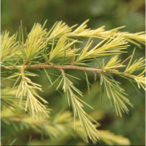 Cedrus deodara kelly gold