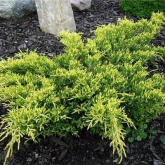 Juniperus pfitzeriana gold star