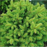 Picea abies little gem