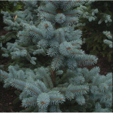 Picea de Colorado Picea pungens oldenburg