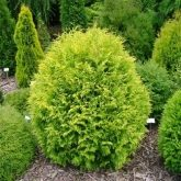 Tuya del Canadá Thuja occidentalis golden globe