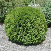 Tuya del Canadá Thuja occidentalis woodwardii