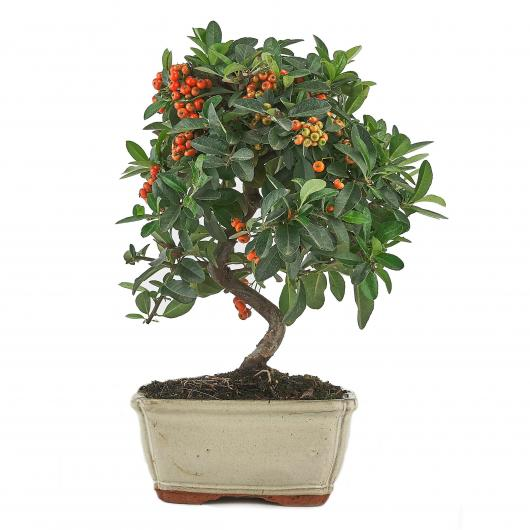 Pyracantha sp. (buisson ardent) 7 ans