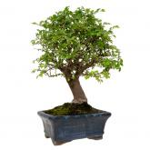 Zelkova parvifolia 5 yrs old CHINESE ELM
