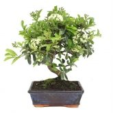 Pyracantha sp. (buisson ardent) 6 ans